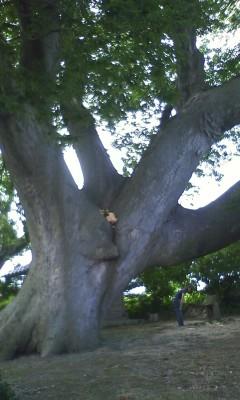 欅(ケヤキ)の大木