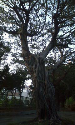 希望ヶ丘公園のガジュマル